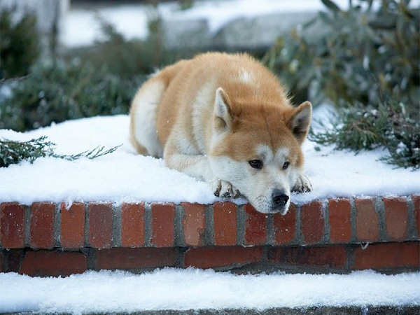 Hachiko Dog Wallpaper